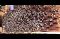 آموزش حرفه ای زنبور داری 02128423118 -09130919448-wWw.118File.Com