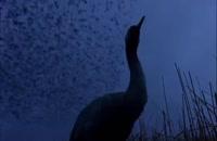 دانلود فیلم مهاجرت پرندگان Winged Migration 2001