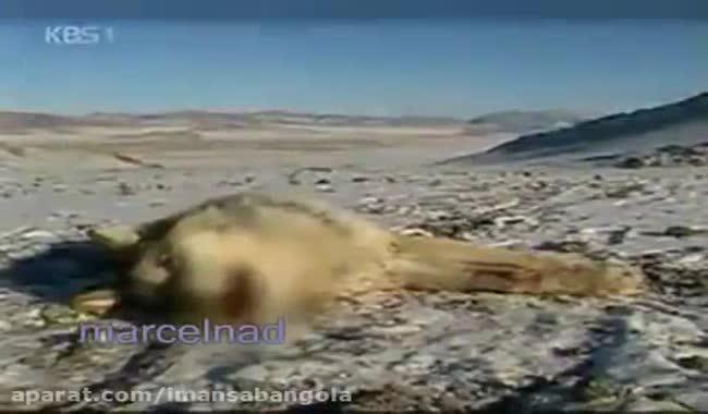 شکار گرگ توسط عقاب