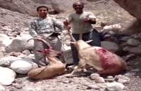 کشتار وحشیانه و انقراض گونه ای نادر از قوچ ایرانی