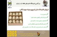 تخم نطفه دار بلدرچین با تضمین در سلامت  و کیفیت تخم