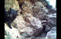 تصاویری کمیاب از خرس سیاه آسیایی