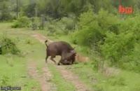 حمله ی بوفالو به شیر