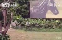 وقتی گورخر از کارمند باغ وحش عصبانی باشه !!؟