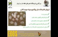 راندمان بالای جوجه درآوری با خرید تخم نطفه دار بوقلمون