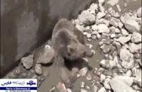 نجات خرس گرفتار در استخر توسط دوستداران حیات وحش