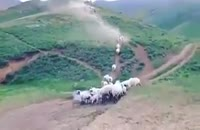 مهر مادری،گوسفندهای مادر به بره هایشان ملحق می شوند
