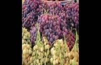 بزرگترین مرکز فروش نهال انگور در کشور 09121270623