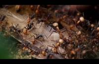 ارتش مورچه ها