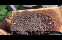 آموزش پرورش زنبور عسل 02128423118-09130919448-wWw.118File.Com