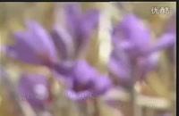آشنایی با کشت گلخانه ای زعفران