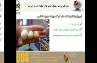 فروش تخم صدر در صد نطفه دار کبک در سایت جوجه دات آی آر juje.ir