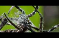 شگرد عنکبوت در شکار