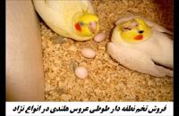 فروش تضمینی  تخم نطفه دار عروس هلندی