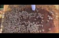 آموزش حرفه ای زنبور داری 02128423118- 09130919448-wWw.118File.Com