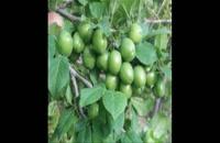 نهال گوجه سبز مراغه 09120398416 – فروش نهال گوجه سبز – خرید نهال گوجه سبز – قیمت نهال گوجه سبز