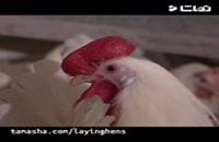 فروش مرغ اجداد