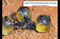 مورچه سمی که با قلابهای پشتی خود بدن انسان را پاره می کند!!