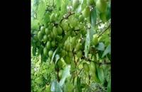 خرید نهال گوجه سبز ازمیری 09121270623 – نهالستان گوجه سبز - قیمت خرید نهال گوجه سبز