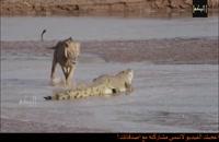 جدال دو حیوان قاتل_فلزیاب_09917579020