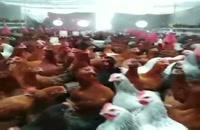 فروش مرغ 6ماهه محلی تخمگذارباپیک تولید30 درصد فعلی
