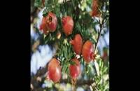 نهال انار  09121270623 - خرید نهال انار - فروش نهال انار - قیمت نهال انار
