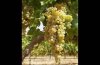 نهال انگور  09121270623 - خرید نهال انگور - فروش نهال انگور - قیمت نهال انگور
