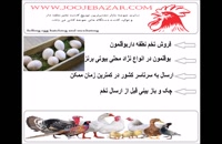 تخم  بوقلمون برای جوجه کشی