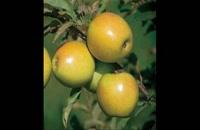 نهال سیب در قزوین 09121270623 - خرید نهال - فروش نهال - قیمت نهال