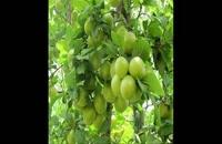 نهال گوجه سبز دیرگل 09121270623
