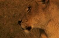 آخرین شیرها - The Last Lions 2011