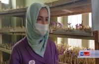 کشت گلخانه ای زعفران در افغانستان و حمایت دولت از خانوارهای متقاضی کشت زعفران و فروش محصول به صورت مستقیم در کشور چین