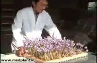 گلخانه زعفران - آموزش نوین کشت گلخانه ای زعفران