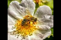 انواع عسل -فروش عسل آويشن