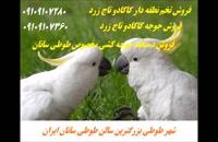 فروش تخم نطفه دار کاکادو تاج زرد