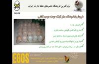 تخم نطفه دار کبک، بدون لک، بدون بیماری و دارای اندازه مناسب