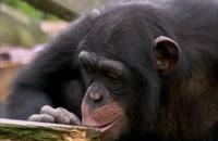 فیلمی از آزمایش شامپانزه، باهوش ترین جاندار زمین