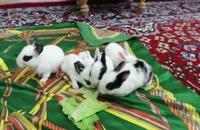 بچه خرگوشهای ناز در نهاوند