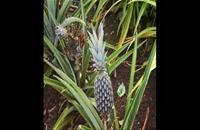 نهال آناناس  09121270623 - خرید نهال آناناس - فروش نهال آناناس - قیمت نهال آناناس