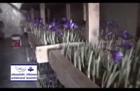 کشت گلخانه ای زعفران - کشت بدون خاک زعفرن