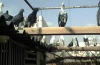 کبوتر بلند پرواز ایرانی