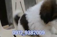 توله سگ شیتزو عروسکی
