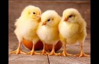 قیمت فروش مرغ تخم گذار