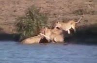 ویدیو زیبا از حیات وحش
