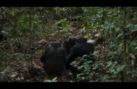 شکار میمونها توسط شامپانزه ها