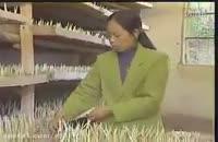 آموزش کشت زعفران گلخانه ای(سیستم هواکشت) به همراه طرح توجیهی