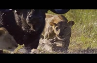جدال بوفالو با شیرها
