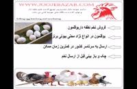 فروش تخم نطفه دار بوقلمون تضمینی