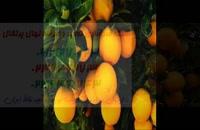 بزرگترین مرکز فروش نهال پرتقال در کشور 09121270623
