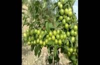 نهال گوجه سبز در قزوین 09121270623 - خرید نهال - فروش نهال - قیمت نهال